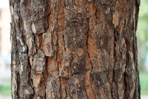 Bark of Pine Tree Close Up