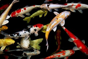Koi carp swimming in pond