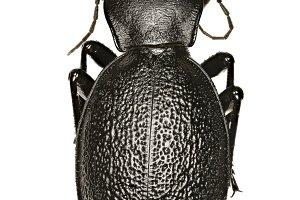 Leather Beetle