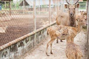 Herd of deer in a cage