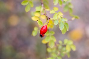 Red ripe briar berries, macro photo. Hips bush with ripe berries. Berries of a dogrose on a bush. Fruits of wild roses. Thorny dogrose. Red rose hips.