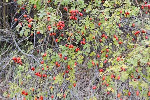 Hips bush with ripe berries. Berries of a dogrose on a bush. Fruits of wild roses. Thorny dogrose. Red rose hips.