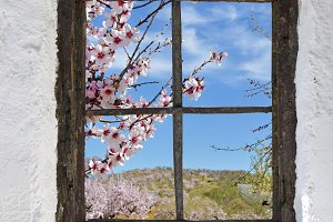 almond grove in flower behind the old wooden window in the wall