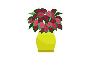 Coleus house plant in flower pot