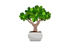 Crassula ovata house plant in pot