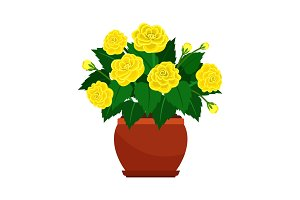 Begonia house plant in flower pot