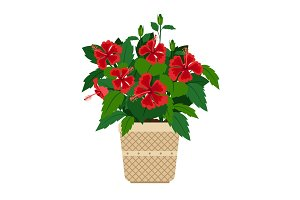 Hibiscus house plant in flower pot