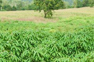 Cassava growing areas