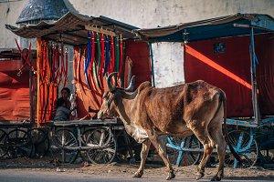 Cow Walking on Road