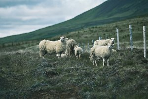 Icelandic sheep are grazing in the Meadow