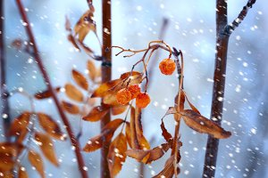 Snow bunches of dried Rowan outdoors Winter selective soft focus toning
