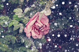 Snowfall rose in the winter snow christmas new year soft selective focus