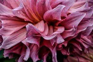 Beautiful Pink Monarch Dahlia