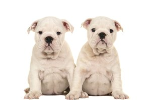 Two white english bulldog puppy dogs sitting and looking at the camera isolated on a white background