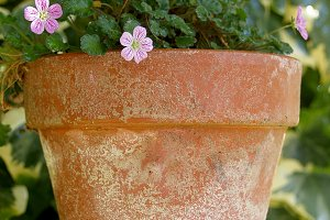 Small pink flower on clay pot