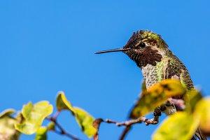 Anna's Hummingbird in a Tree
