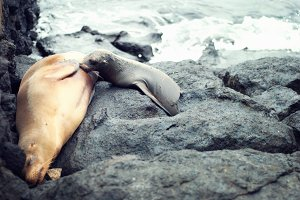 Nursing Sea Lion