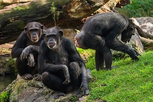 himpanzee family at the zoo