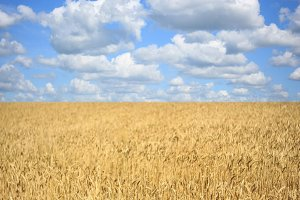 Wheat field with ripening ears on the background of a blue cloudy sky, idea of a rich harvest