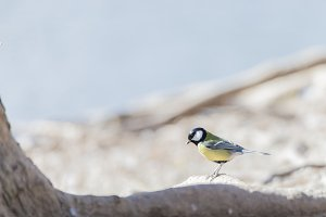 Parus major, saithe common