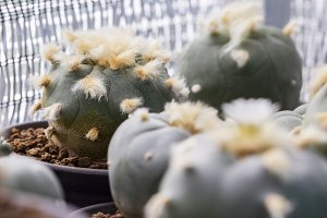 Cactus lophophora williamsii