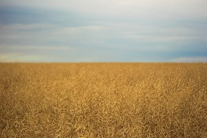 Field with soybeans under the blue sky. Landscape nature photo
