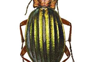 Carabus auronitens (Fabricius, 1792)