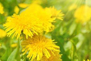 Dandelions on green field