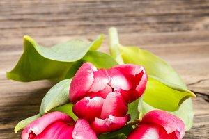 Fresh spring tulip
