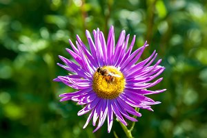 bee on purple chrysanthemum