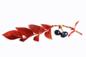 branch of blueberry with leaves and berries isolated on white background