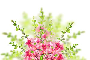 Pink blossom bush on white