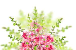 Pink blossom bush on white