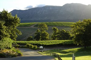 Vineyard Cape Town