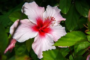 White and fuchsia hibiscus