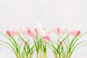 Pink white crocuses on light