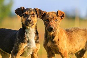 funny puppies with intelligent eyes, two