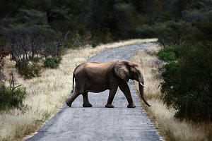 Elephant crossing at Low Resolution