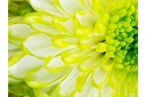 Detail of Lime Green Chrysanthemum Flower Square Backround