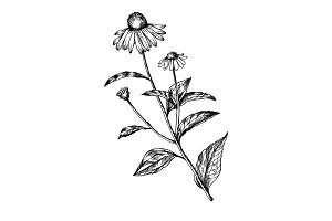 Echinacea medical herb engraving vector