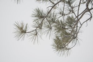 Winter Pine Tree Branch