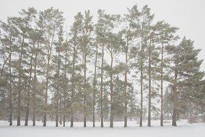 Symmetrical Winter Tree Line