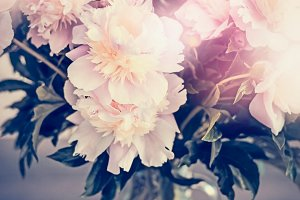 Pink pale peonies bunch in vase