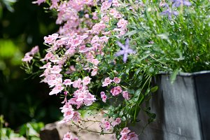 beautiful garden flowers in pots
