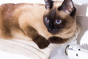 A Siamese Thai cat lies on a white cool radiator in anticipation of heat.