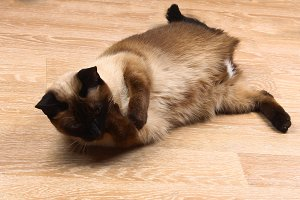 Siamese or Thai cat licking paw. The cat is disabled. Three paws, no limb.