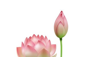 Pink lotus flower bud