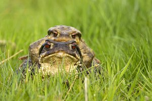 Pair of toads