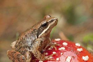 Frog and amanita