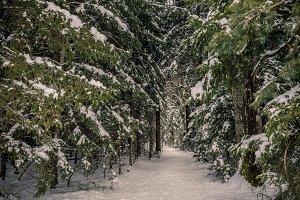 Snow / forest / walk